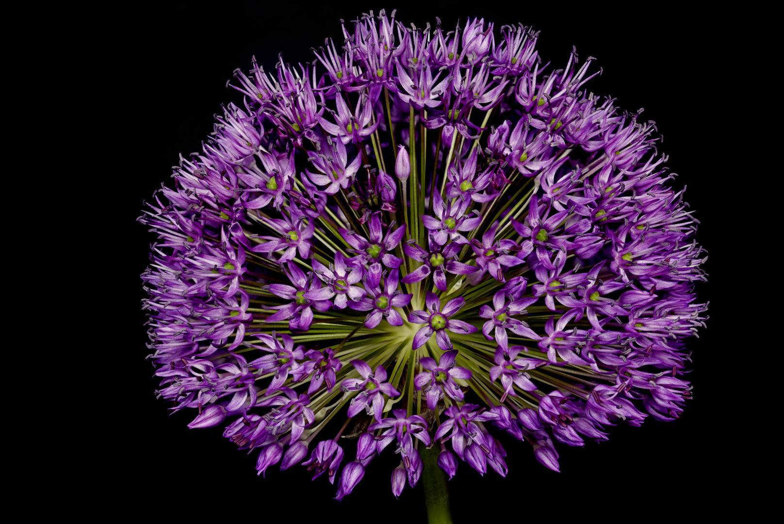 Allium - die farbenfrohe Blütenkugel und Bienenweide