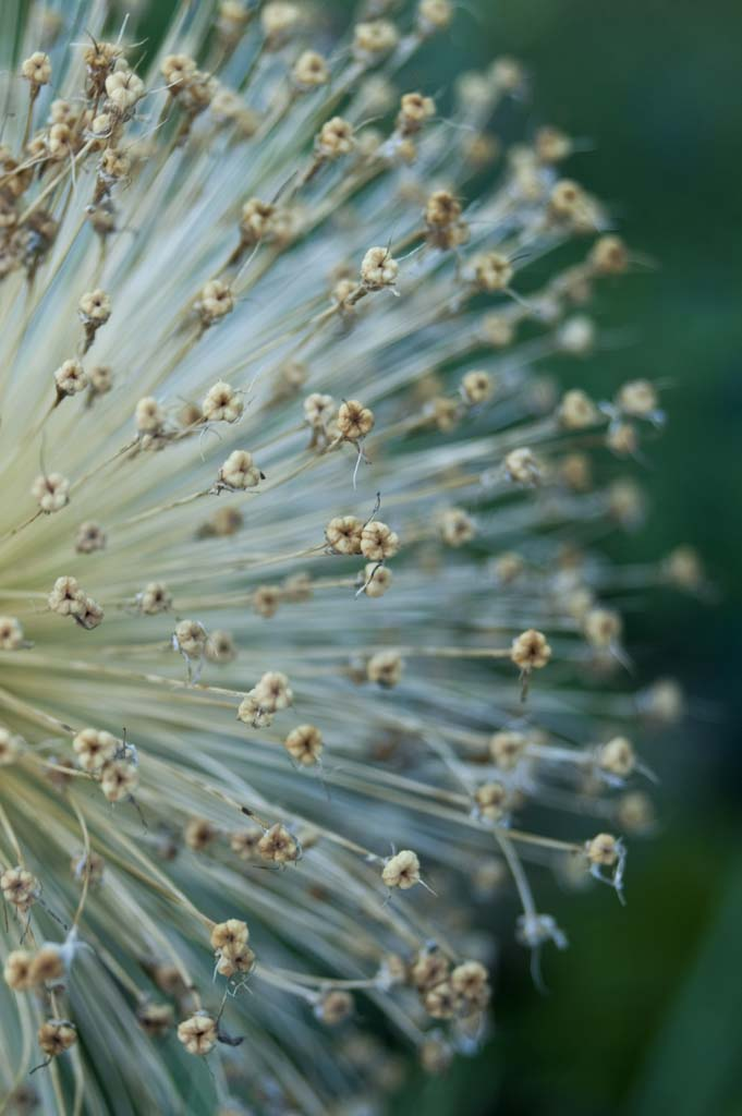 Allium 'Globemaster' Blütenstand
