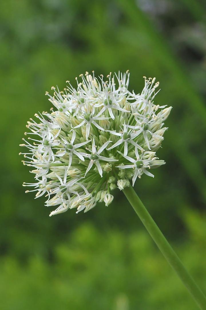 Allium karataviense 'Ivory Queen' - Weißer Blauzungenlauch
