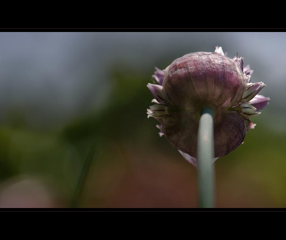 Allium schoenoprasum (2) ...