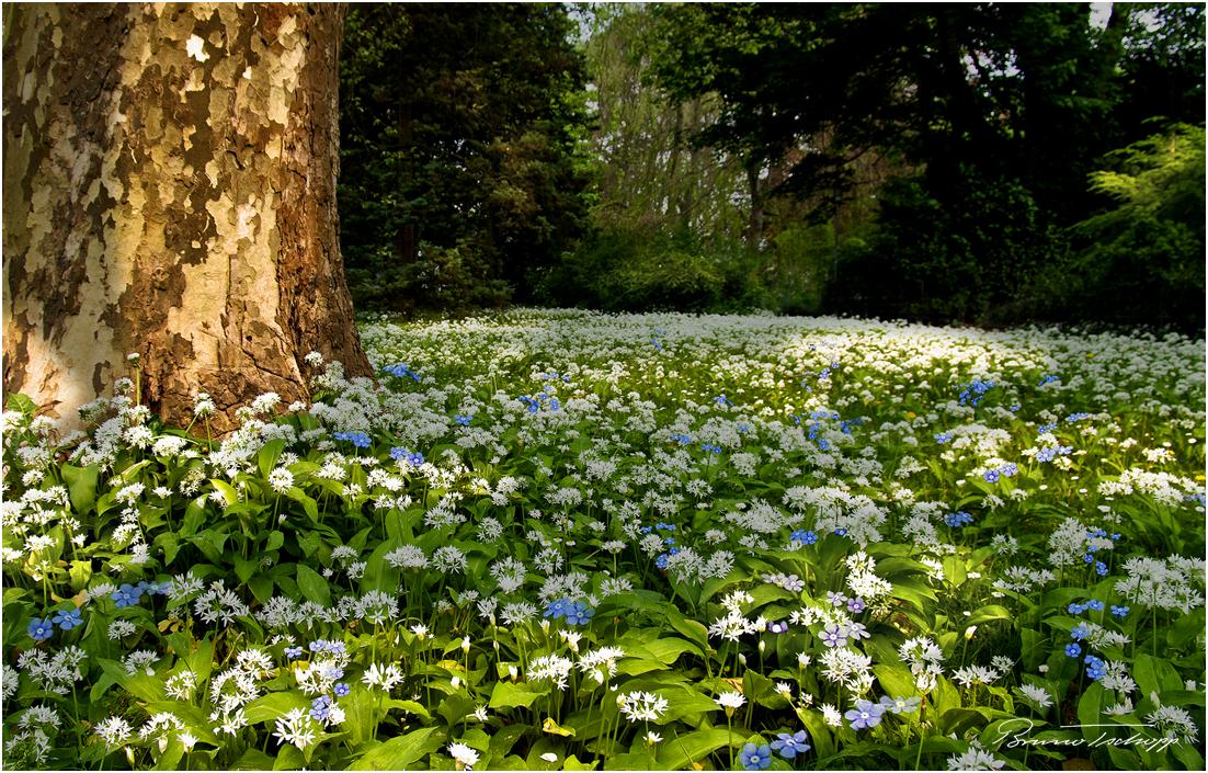 Allium ursinum und Myosotis - Bärlauch und Vergissmeinnicht