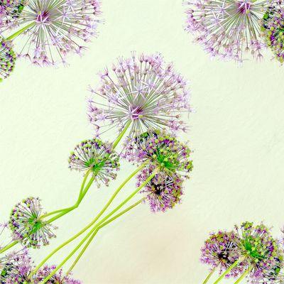 Allium (Zierlauch)