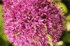 Alliumkugel