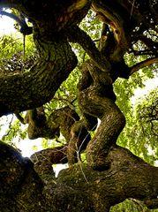 ...all'ombra della Sophora Japonica...