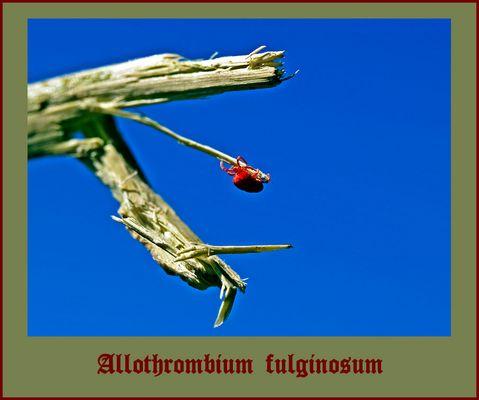 ***Allothrombium fulginosum***