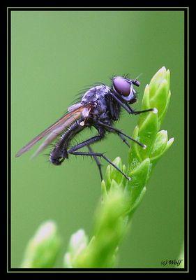 Alltags - Fliege