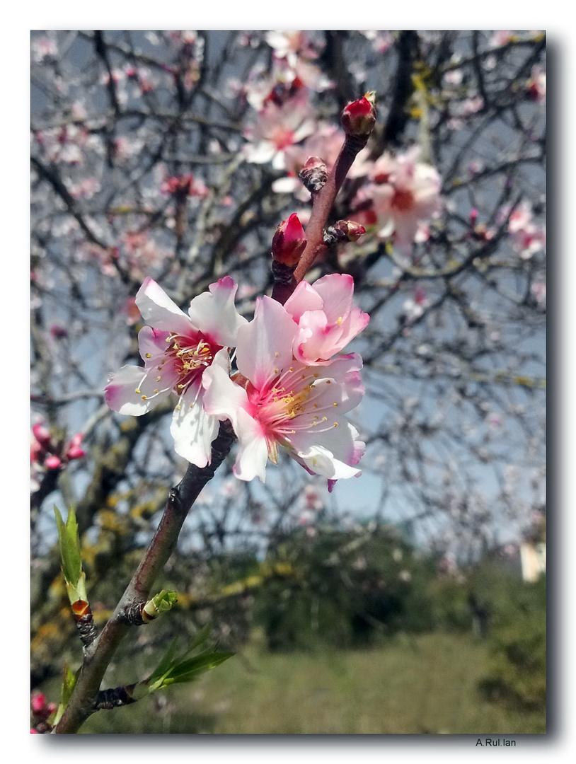 """""""Almendro en flor"""""""