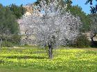 Almendros en flor (baleares)