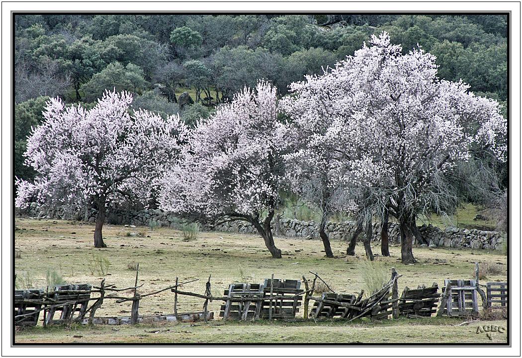 Almendros en flor en un paraje bucolico.