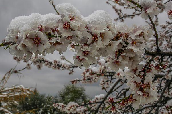 Almendros en flor nevados