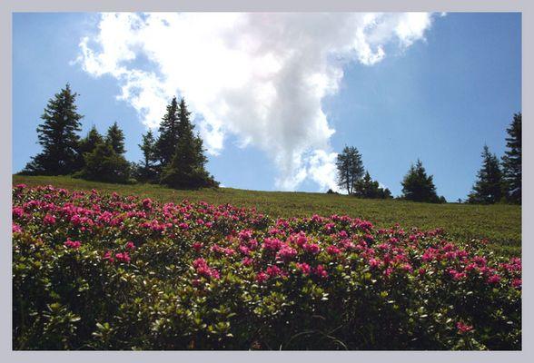 Almrausch (Alpenrosen)