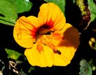 Aloa Blüten