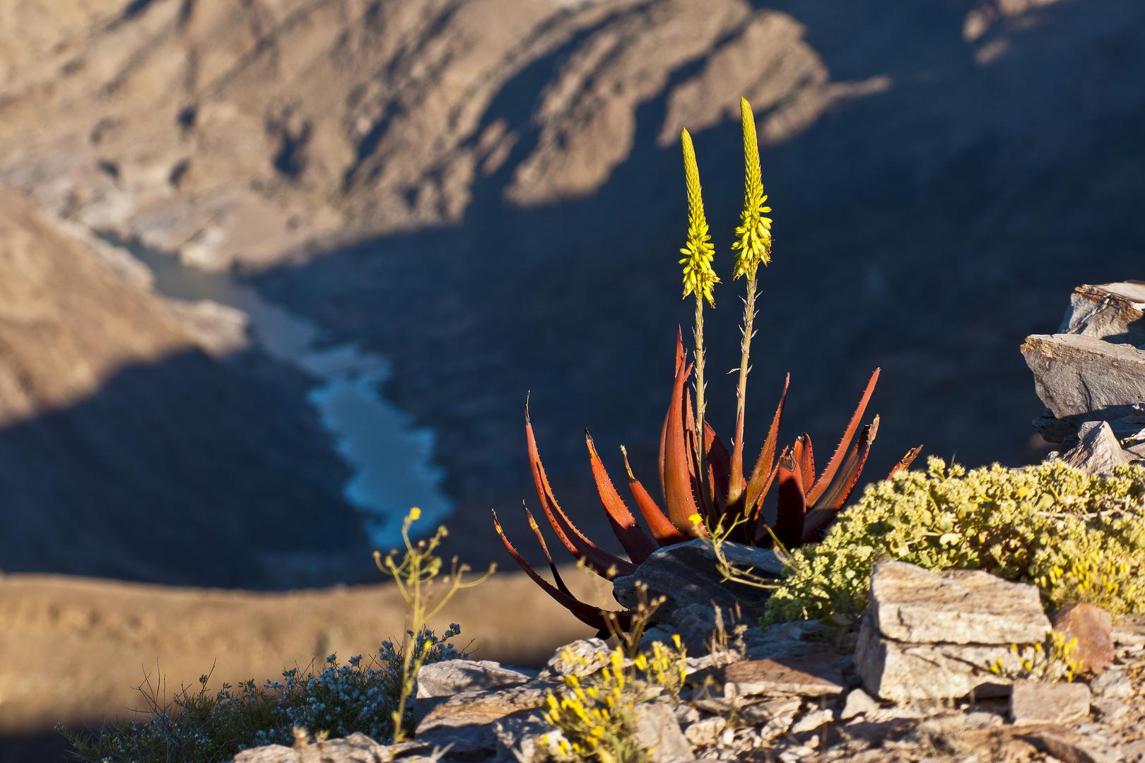 Aloe am Fish River Canyon