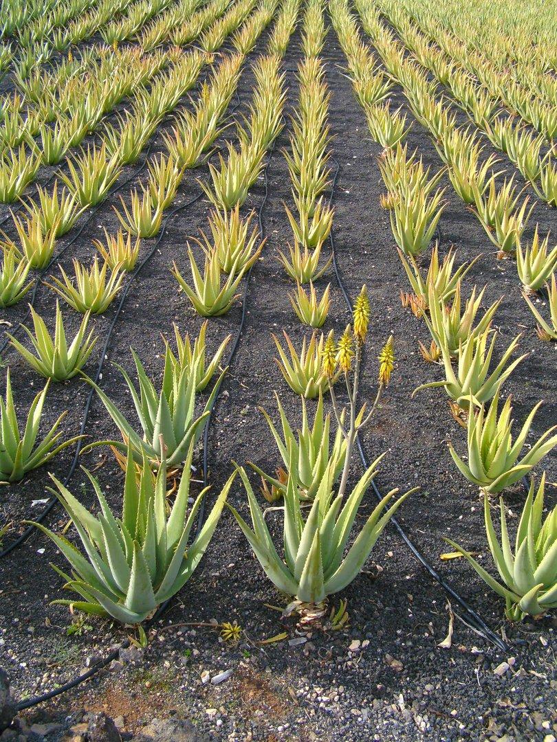 Aloe-Feld auf Lanzarote