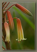Aloe-Glöckchen