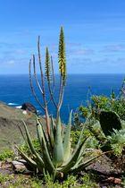 Aloe species