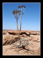 Aloe und Commiphora saxicola