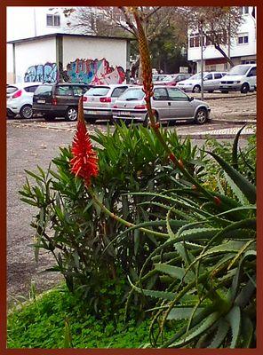 Aloe Vera in garden