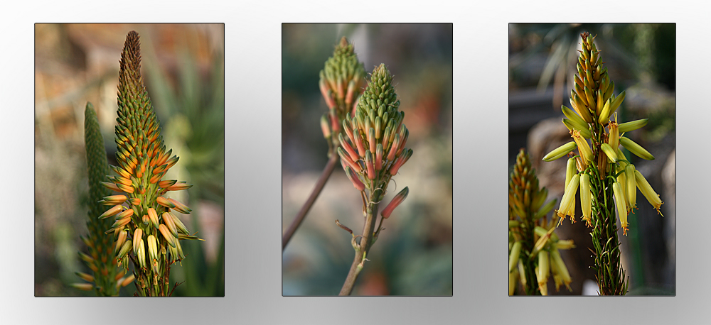 Aloes Südwest Afrika