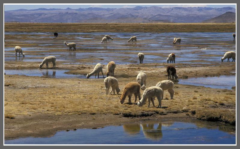 Alpaca-Herde im peruanischen Hochland