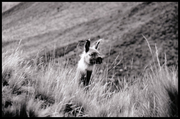 Alpaca in den Anden