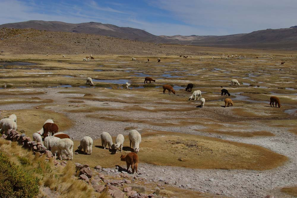 Alpagas sur l'Altiplano Péruvien