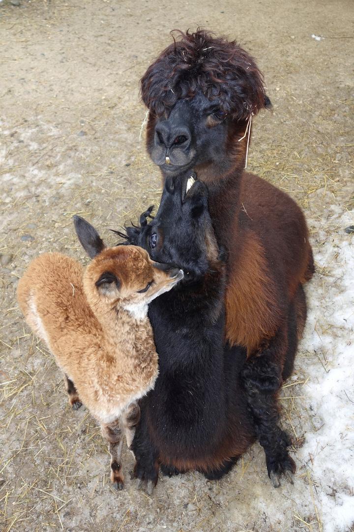 Alpaka bei der Paarung