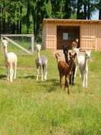 Alpaka - die Herde aus Haueisen