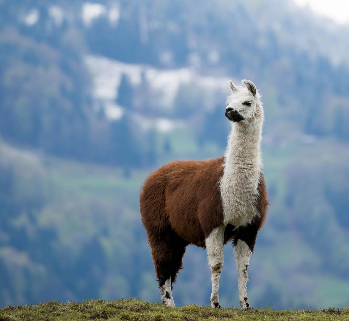 Alpaka im Berner Oberland_2