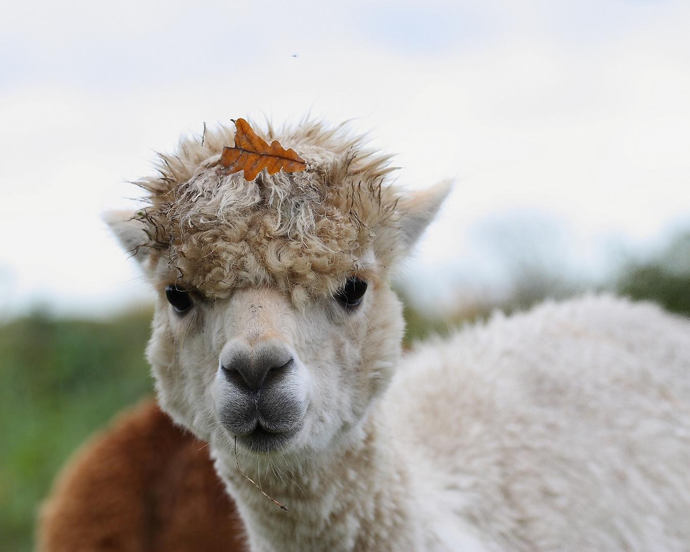 Alpaka mit herbstlichem Kopfschmuck