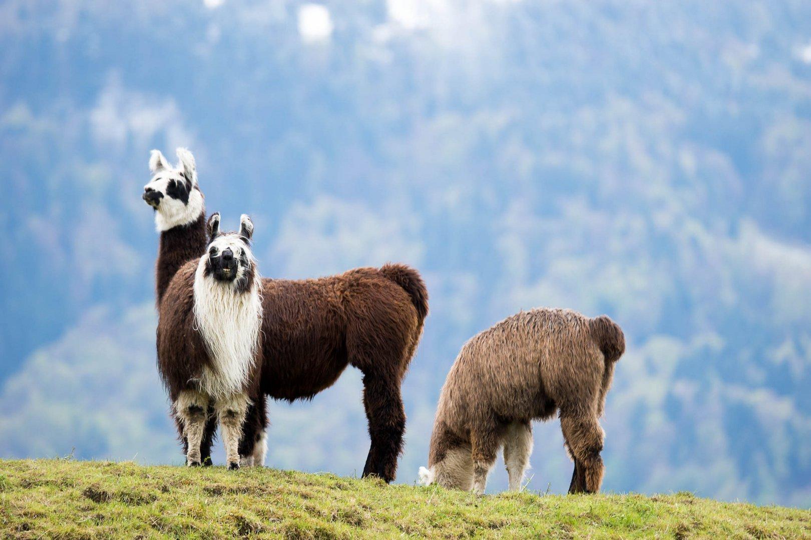 Alpakas im Berner Oberland