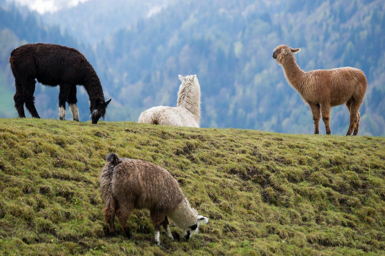 Alpakas im Berner Oberland_1