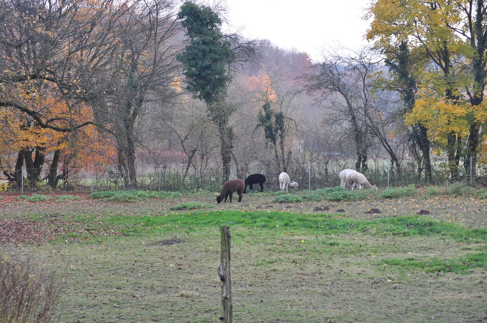 Alpakas im Herbst