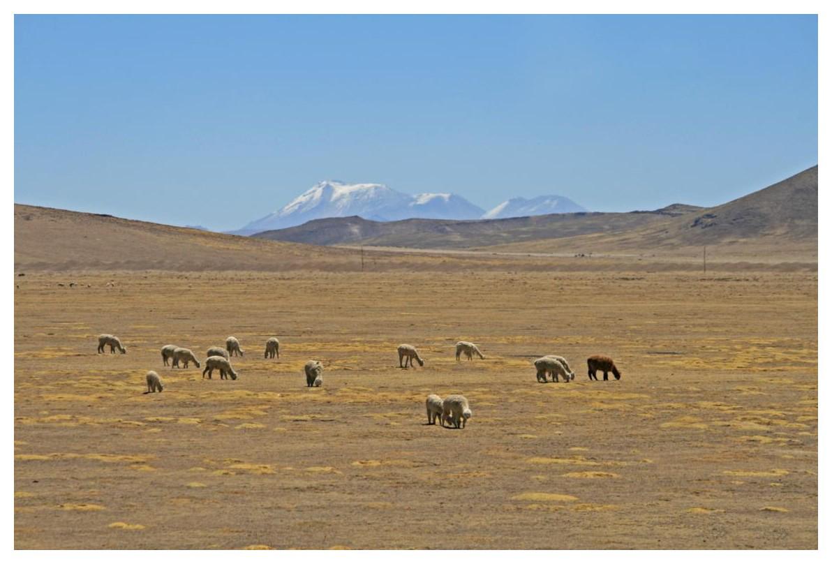"""Alpakas in ihrem natürlichen Lebensraum (im Hintergrund der """"Ampato"""")"""