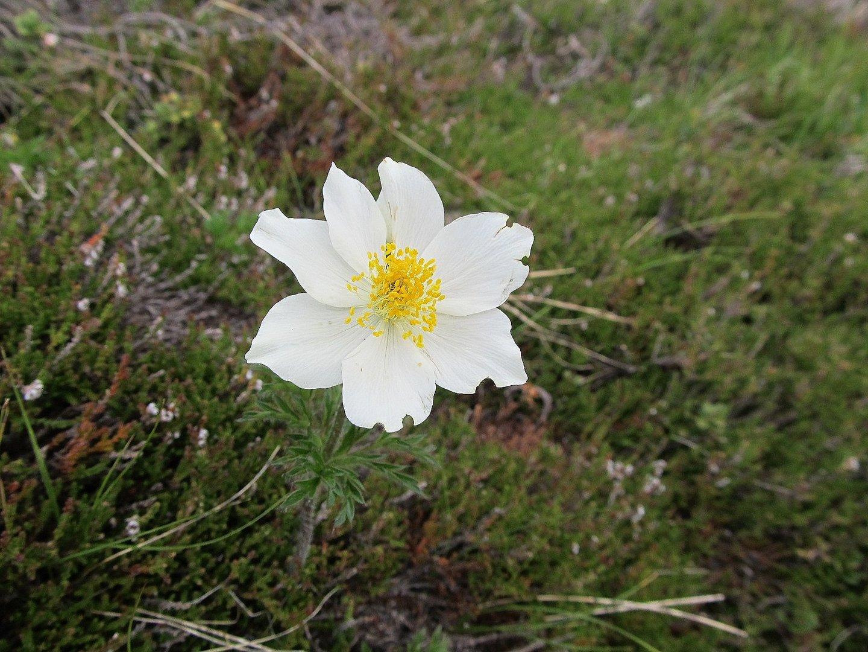 Alpen Anemone 1