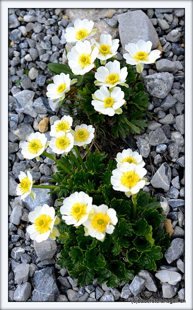 Alpen-Flora I