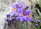 Alpen-Leinkraut 'Linaria alpina'