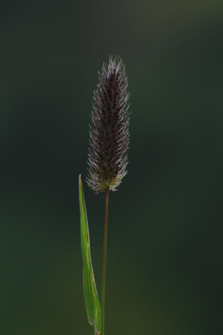 Alpen-Lieschgras (Phleum alpinum)
