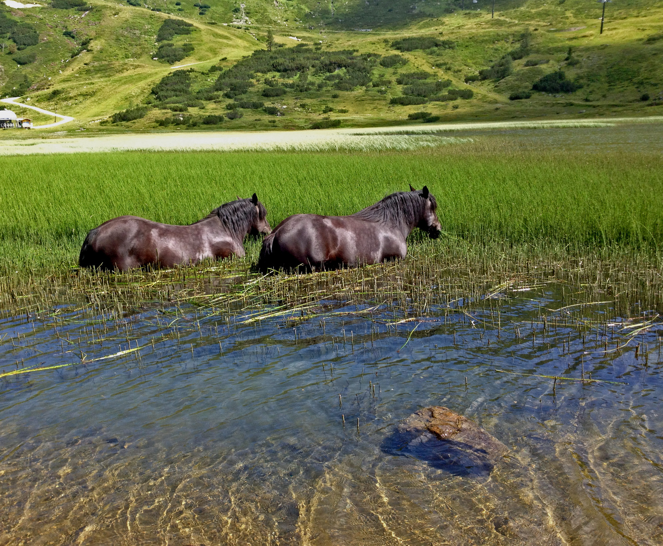 Alpen -Nilpferde beim Grasen