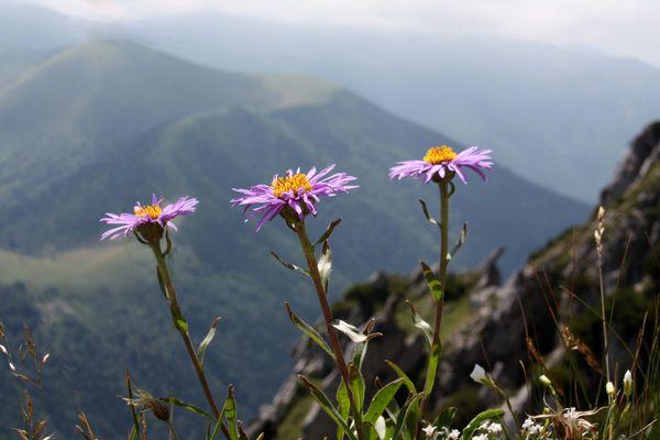 Alpenaster (Aster alpinus) - reloaded