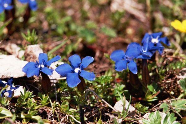 Alpenblumen - 04