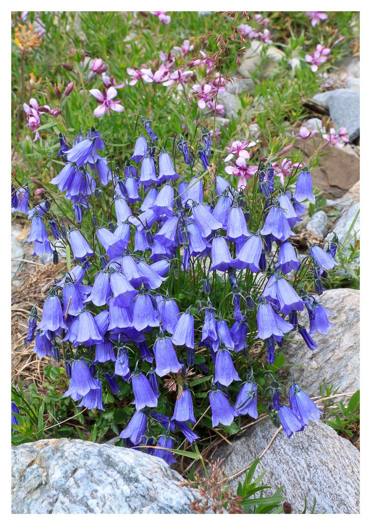 Alpenblumen (1)