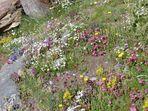 Alpenblumenwiewse mit phantastischer Pflanzenvielfalt