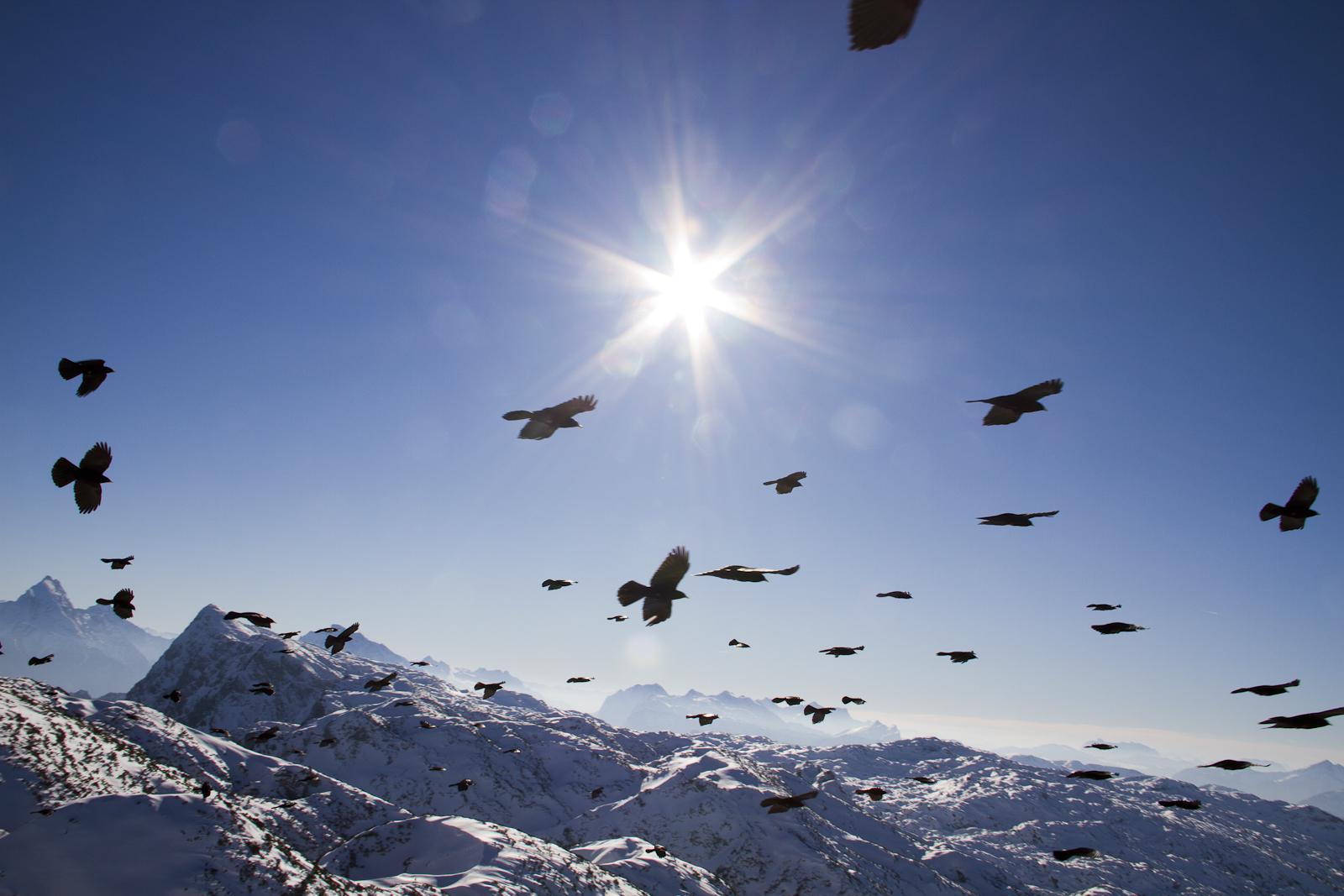 Alpendohlenflug
