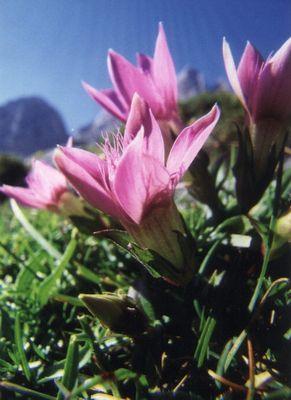 Alpenflora...