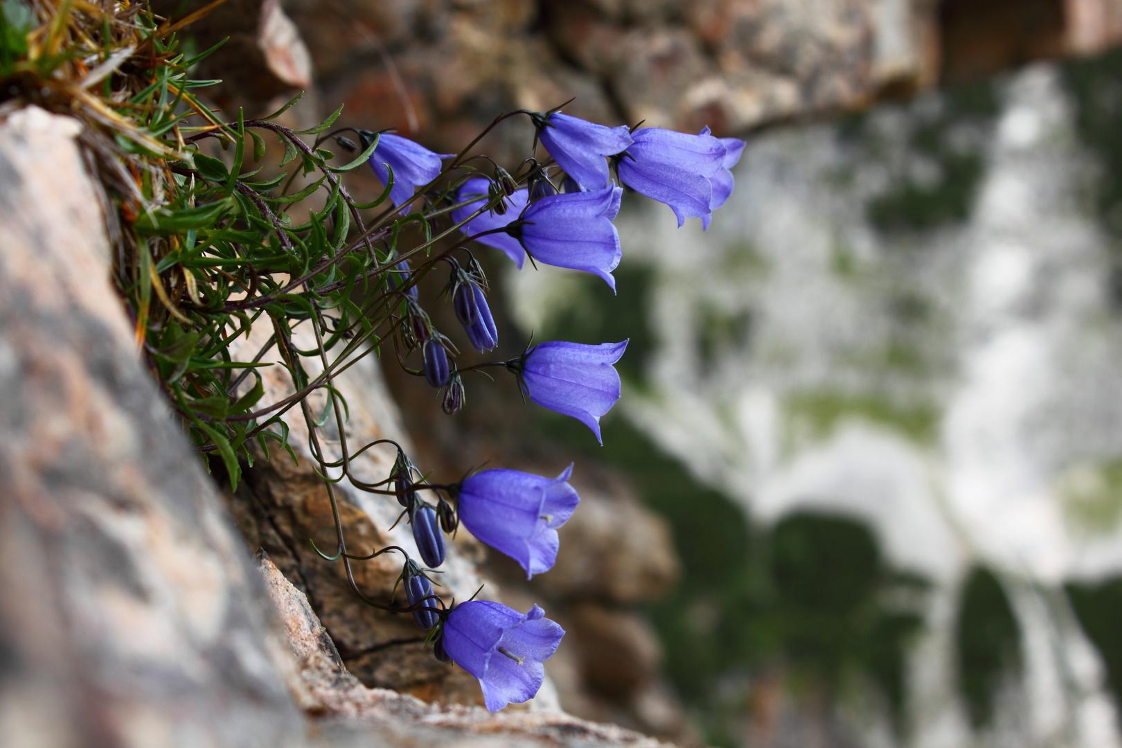 Alpenglockenblume