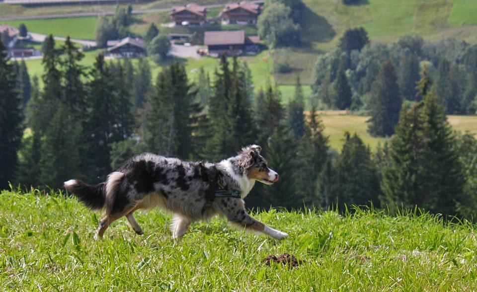 - Alpenhund -