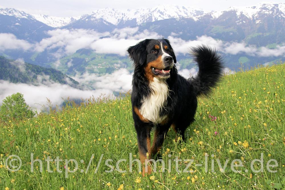 Alpenkönig
