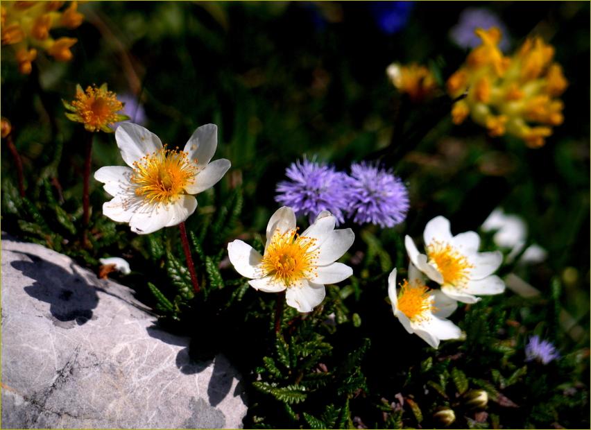 Alpenmittwochsblümchen...