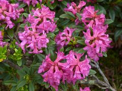 Alpenroseblüte